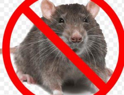 خدمة مكافحة الفئران بالطائف
